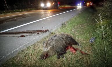© Un altre accident causat per un senglar a Lleida