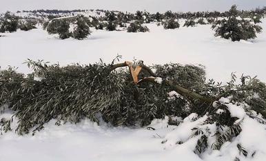 Una olivera trencada per la neu a Bovera.