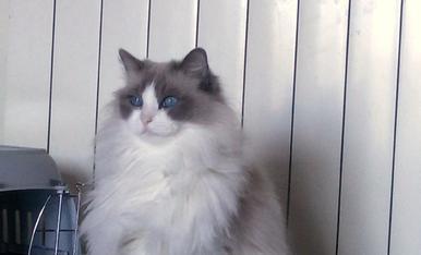 Aquest és el Lucky, un gat molt tranquilet, amb els ulls blaus més bonics del món. Sóc el Lluis Bueno Matos i visc a C/Manuel de Montsuar 8 1ºB 2005. Tel. 630205972.