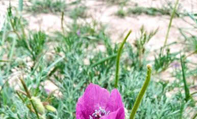 La rosella lila