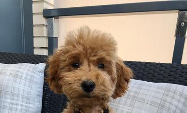 És un cadell mascle de la raça de caniche toy color marrón fluix, pel suau arrisat i ulls grans i negres