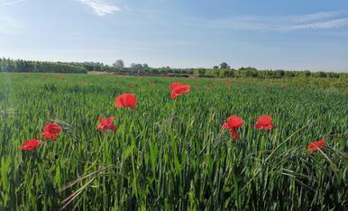 Ruelles, sembrats verds i núvols esqueixats a Montoliu de Lleida