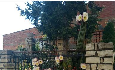 cactus en flor. es curios perque la flor nomes dure un parell de dies