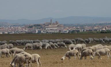 Un tòrrid dia d'estiu als plans d'Alfés i amb la ciutat de Lleida de fons, amb el cereal segat i les ovelles pasturant. Una estampa 100% d'estiu rural!.