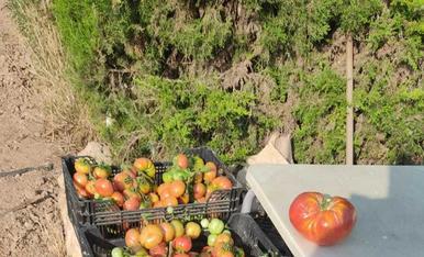 El treball ben fet dóna resultats. Tomates a Montoliu de Lleida