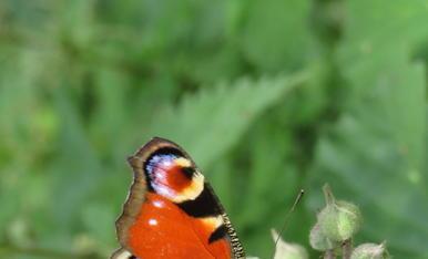 Aglais io. También llamada mariposa pavo real, es una de las más espectaculares que podemos encontrar en España. Disfrutar de la naturaleza es uno de los mayores alicientes de mis vacaciones. La fotografía de la foto se tomó junto al río Eresma, cerca de