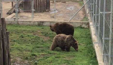 Els óssos Mimo i Aran, al recinte de quarantena a Hongria, on passaran un mes abans d'alliberar-los.