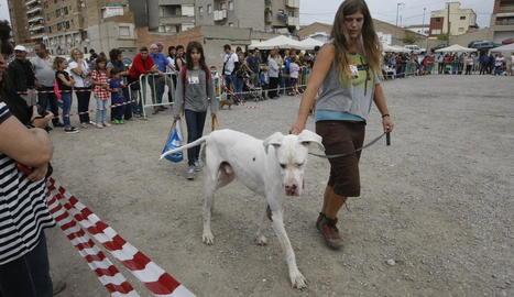 Pobleta de Bellveí ■ La fira ramadera de la Pobleta de Bellveí va celebrar ahir el tradicional Concurs de la Vaca Bruna amb més de 40 exemplars. L'organització va premiar el millor animal de la fira i va atorgar set distincions als ramaders.