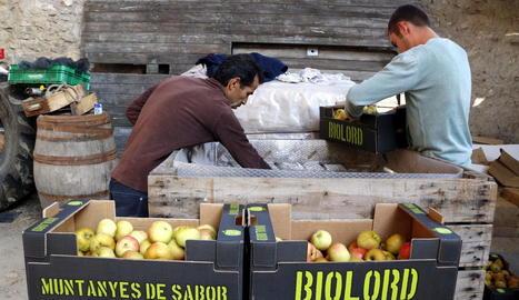 Cent tones en collita de poma ecològica