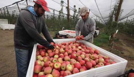 La recollida de la poma Pink Lady a Lleida ha començat aquest divendres.
