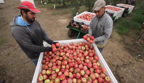 Imatge de recol·lecció de poma pink lady en una explotació de Torre-serona.