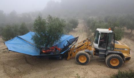 La recollida de l'oliva aquest dimecres a Maials