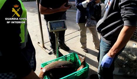 Operació electrofishing a l'Ebre.