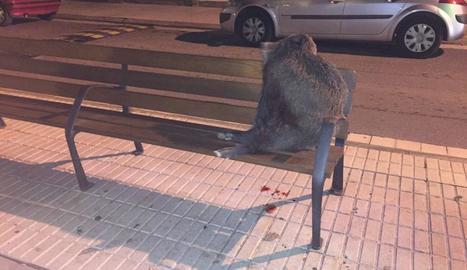 Imatge de l'animal que va aparèixer diumenge a la nit.