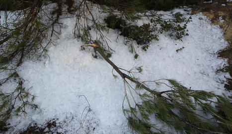 Arbres trencats a causa del pes del gel als camps de la Serra del Tallat, a l'Urgell.