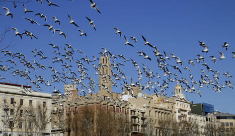 Una bandada de gavines, ahir a Lleida.