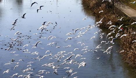 Gran colònia de gavines a la canalització a Lleida