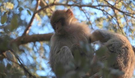Els micos, animals típics de les muntanyes de l'Atles.