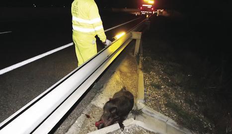 Un accident causat per un porc senglar.