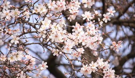 Els ametllers d'Ivars d'Urgell comencen a florir.