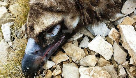 Un furtiu mata l'últim voltor negre d'Alinyà i acaba amb el pla de reintroducció