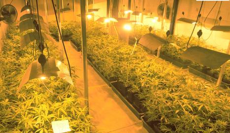 Les plantes de marihuana a la nau del polígon El Segre.