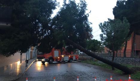 Un arbre tombat pel vent divendres passat a Cervera.