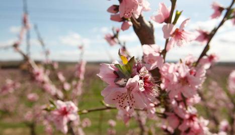 Floració dels arbres fruiters