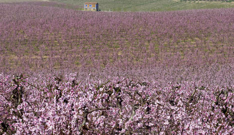 Fruiters florits aquesta setmana al Baix Segre.