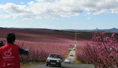 Vista de l'arribada de cotxes a una de les visites enmig dels camps tenyits de rosa.