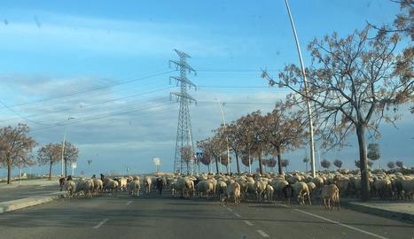 Ovelles en lloc de cotxes ■ Un ramat d'ovelles <i>circulava</i> ahir a la tarda per un dels carrers de Torre Salses, en una zona pròxima a l'accés a la variant sud.