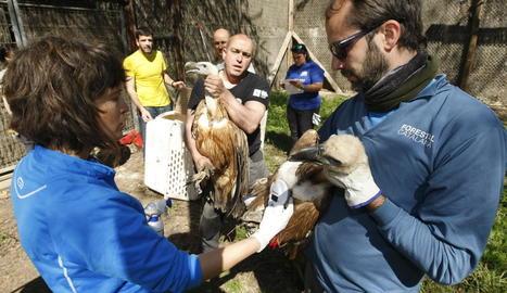 Dos dels deu voltors traslladats ahir des del centre de fauna de Vallcalent fins a Israel.
