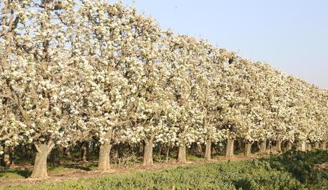 Imatge de pereres de blanquilla en floració en una finca d'Ivars d'Urgell.