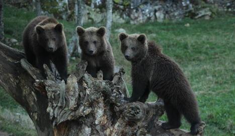 Els tres cadells d'ós seran traslladats avui a França.