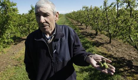 Josep Maria Moliné mostra petits albercocs arrasats pel granís a Sucs.