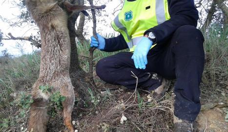 Una guineu atrapada en una de les trampes.