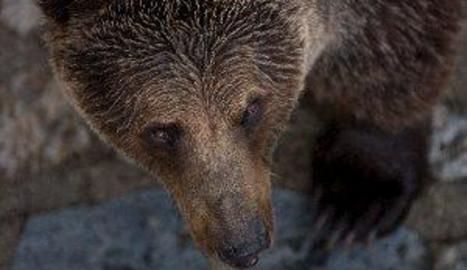 Els óssos es comuniquen a través de l'olor dels seus peus