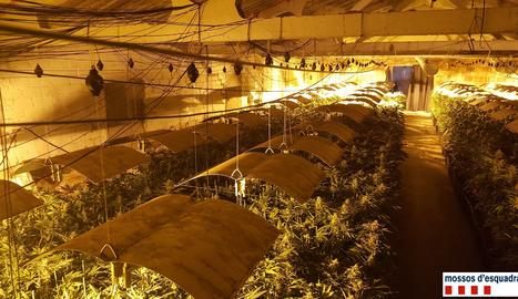 Una vista de part de la plantació de marihuana de Puggròs.