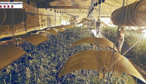 Els Mossos van trobar 4.500 plantes dins de dos naus.