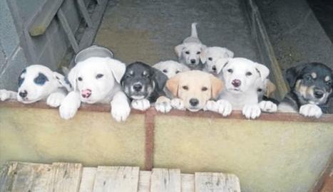 Troben una dotzena de cadells abandonats a Almenar