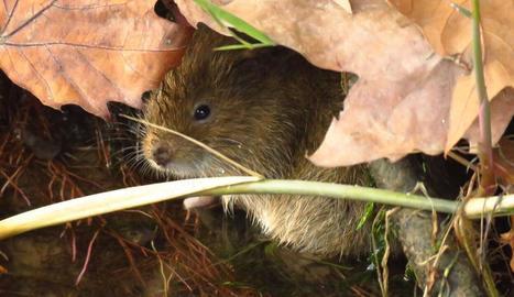 La rata d'aigua que viu a la zona del Canal.