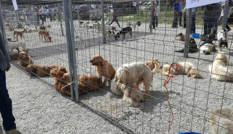 Alguns dels gossos que ahir es van exhibir a Solsona.