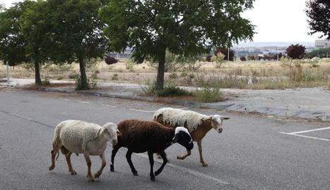 Aquestes ovelles, al costat d'alguns ciclistes i passejants, són ara per ara els usuaris de la zona de Torre Salses.