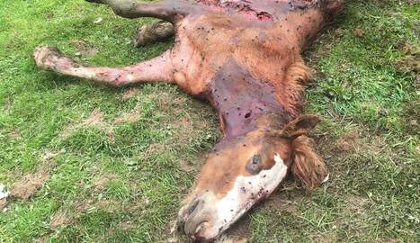 L'exemplar d'euga Soberanya que va ser atacat per l'ós.