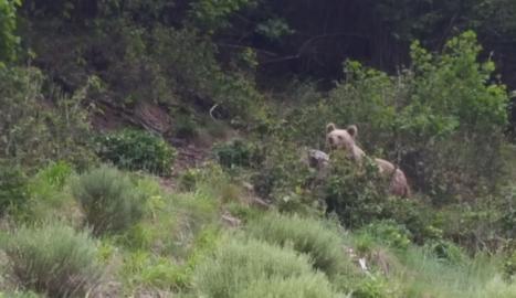 Albirat un ós a la Bonaigua