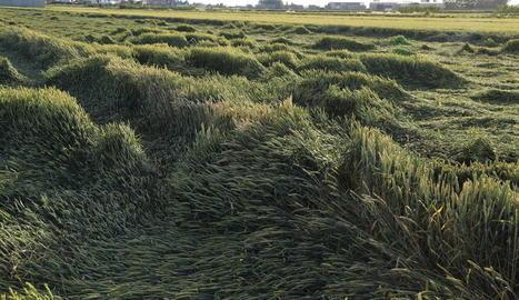 Imatge de la situació en la qual ha quedat un camp de cereals a Linyola després de les pluges.