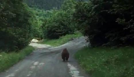 El cadell corrent davant d'un cotxe a la carretera de Valarties.