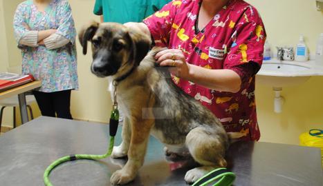 Un gos a la consulta d'un veterinari.