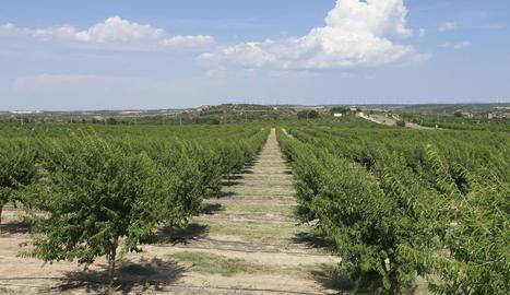 La plantació experimental d'ametllers ocupa 10 hectàrees en terrenys de la Diputació a Maials.