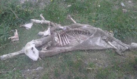 El cadàver d'una de les ovelles aparegut ahir a Naut Aran.